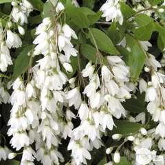 Deutzia gracilis 'Nikko': ctr 7,5 litres