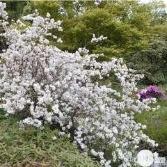 Deutzia gracilis : H 30/40 cm ctr 3 litres.