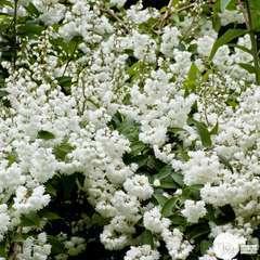Deutzia setchuenensis var. corymbiflora : ctr 4 litres.