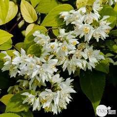 Deutzia taiwanensis : ctr 4 litres.