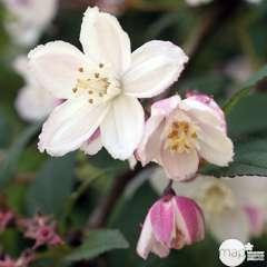 Deutzia x Kalmiiflora : ctr 4 Litres