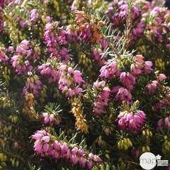 Erica x darleyensis 'Rose':conteneur 2 litres