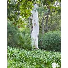 Eucalyptus camaldulensis : ctr 15 litres