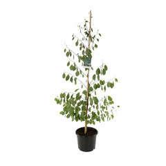 Eucalyptus camphora : ctr 15 litres