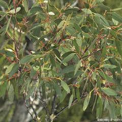 Eucalyptus coccifera :ctr 15 litres