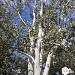 Eucalyptus dalrympleana : ctr 15 litres