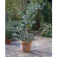 Eucalyptus gunnii : H.40/60cm ctr 5 litres