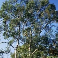 Eucalyptus parviflora : ctr 15 litres