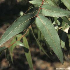 Eucalyptus vinimalis : H.60/80cm ctr 5 litres
