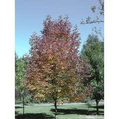 Fraxinus americana 'Autumn Purple':conteneur 15 litres