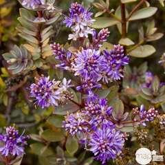 Hebe buxifolia: conteneur 7,5 litres