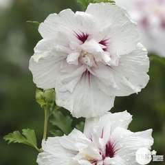 Hibiscus syriacus 'China Chiffon' : conteneur 7,5 litres
