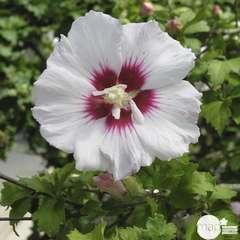 Hibiscus syriacus 'Helene' : conteneur 7.5 litres