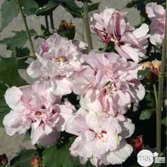 Hibiscus syriacus 'Leopoldi' :H 40/60 cm conteneur 4 litres