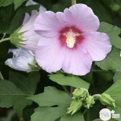 Hibiscus syriacus 'Resi' : conteneur 4 litres