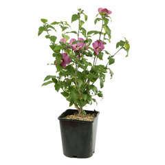 Hibiscus syriacus 'Russian Violet' : conteneur 4 litres