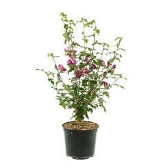 Hibiscus syriacus 'Woodbridge' : conteneur 7,5 litres