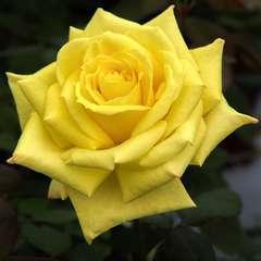 Rosier à grandes fleurs 'Nicolas Hulot®' Meifazeda : en motte