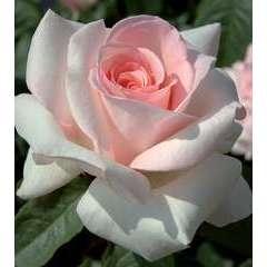 Rosier à grandes fleurs 'Prince Jardinier®' Meitroni : en motte