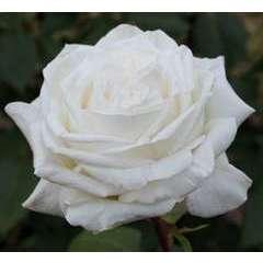 Rosier à grandes fleurs blanc 'Pierre Arditi®' Meicalanq : en motte