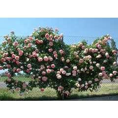 Rosier grimpant rose 'Pierre De Ronsard®' Meiviolin : en motte