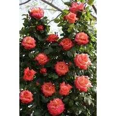 Rosier grimpant orange 'Christophe Colomb®' Meironssesar : en motte