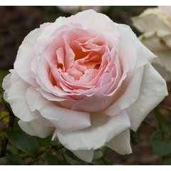 Rosier grimpant rose 'Andre Le Notre®' Meilinday : en motte