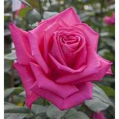 Rosier grimpant rose 'Lolita Lempicka®' Meizincaro : en motte
