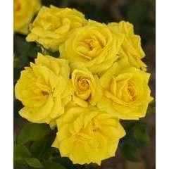 Rosier buisson jaune 'Carte D'Or®' Meidresia : en motte