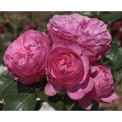 Rosier buisson rose 'Leonardo Da Vinci®' Meideauri : en motte