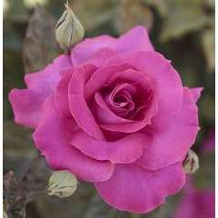Rosier buisson rose 'Manou Meilland®' Meitulimon : en motte