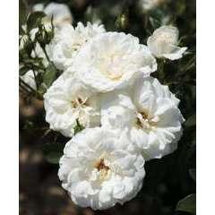 Rosier buisson blanc 'Carte Blanche®' Meibarum : en motte