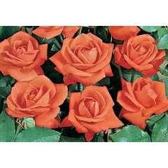 Rosier buisson orange 'Orange Sensation' : en motte