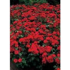 Rosier buisson rouge 'Lili Marlene' : en motte