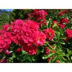 Rosier couvre-sol rose rouge 'Hello®' Meikinba : en motte