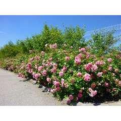 Rosier couvre-sol rose 'Les Quatre Saisons®' Meifafio : en motte