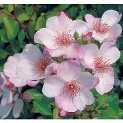Rosier buisson blanc rose 'Astronomia®' Meiguimov : en motte