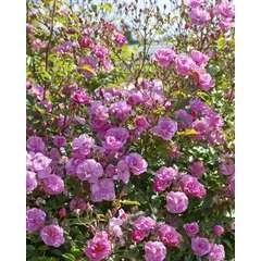 Rosier buisson rose violet 'Louis Bleriot®' Meibivers : racines nues