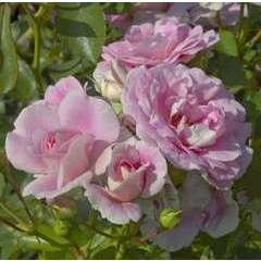 Rosier buisson rose 'Bonica®' Meidomonac : en motte