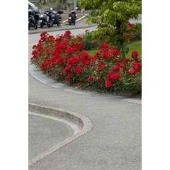 Rosier arbustif buisson rouge 'La Sevillana®' Meigekanu : en motte