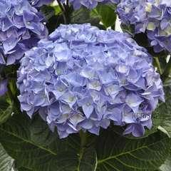 Hydrangea macrophylla 'Anda bleu' : conteneur 2 litres