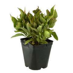 Hydrangea macrophylla ' Ankong' ® : C2L