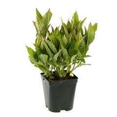 Hydrangea macrophylla ' Ankong' ® : conteneur 2 litres