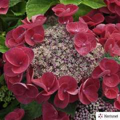 Hydrangea macrophylla 'Jixi' : conteneur 15 litres