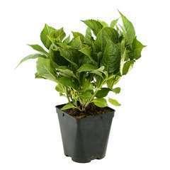 Hydrangea macrophylla ' Leuchtfeuer ' : C2L