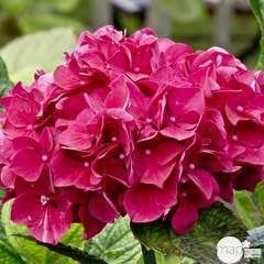 Hydrangea macrophylla 'Merveille Sanguine' : conteneur 2 litres RC