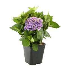 Hydrangea macrophylla 'Xian' bleu : conteneur 5 litres