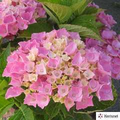 Hydrangea macrophylla 'Xian' rose : conteneur 10 litres