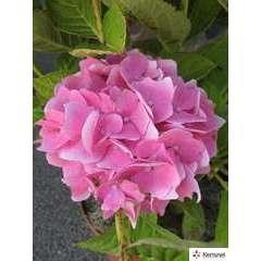 Hydrangea macrophylla 'Xian' rose : conteneur 5 litres