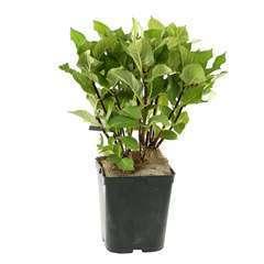 Hydrangea macrophylla 'Zorro', ctr 5 L